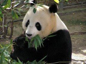 Giant Panda Diet Eating Bamboo