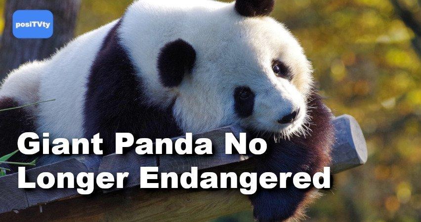 Giant Panda No Longer Endangered