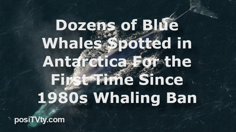 Dozens of Blue Whales Spotted in Antarctica For the First Time Since 1980s Whaling Ban
